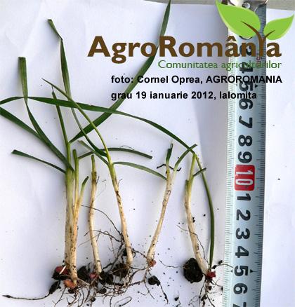 stadiu de vegetatie grau Ialomita ianuarie 2012
