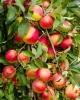 Pomi fructiferi, fructe de padure, vita de vie, trandafiri