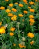 Vand Flori de galbenele netratate sau stropite