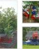 Utilaj Tip LILIAC  Cu Banda Transportoare Pentru scuturarea copacilor si Pentru Colectat Fructele