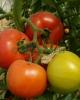 Vindem seminte de tomate - Rosaliya F1