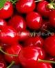 Vand pomi fructiferi,trandafiri nobili si plante ornamentale