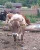 Vand vaca