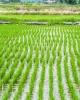 Vand teren agricol braila 340 ha-vand orezarie braila 340 ha