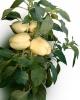 Vindem seminte de ardei gras - Bagoly F1