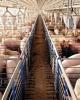 Ferma de porci braila 32000 capete teren agricol 550 ha