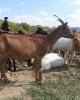 Vand vaci metis de carne/lapte si capre saneen/alpina franceza