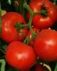 Vindem seminte de tomate - Tolin F1