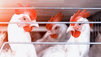 polonia-se-confrunta-cu-raspandirea-gripei-aviare-in-ferme
