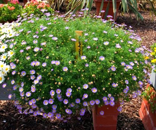 brachycome-iberidifolia
