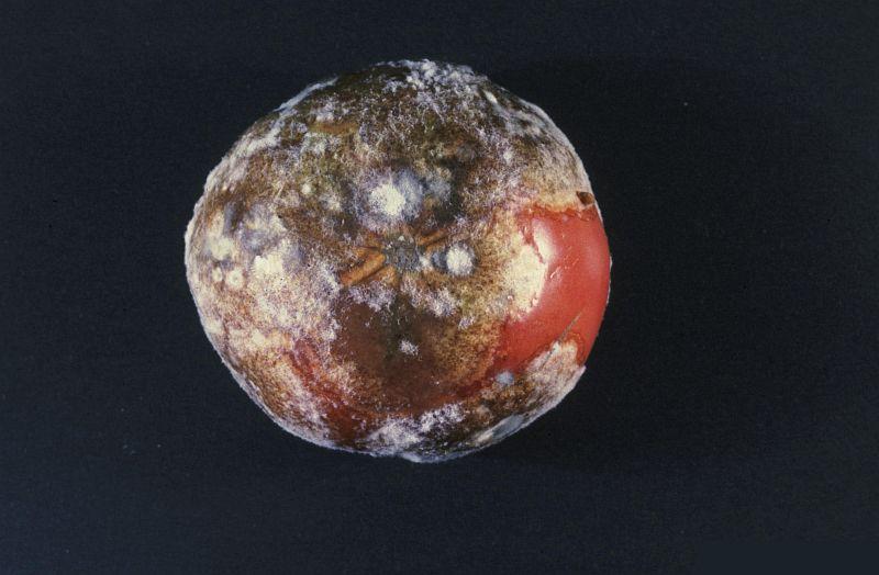 bolile-tomatelor-totul-despre-cultivarea-si-ingrijirea-rosiilor-