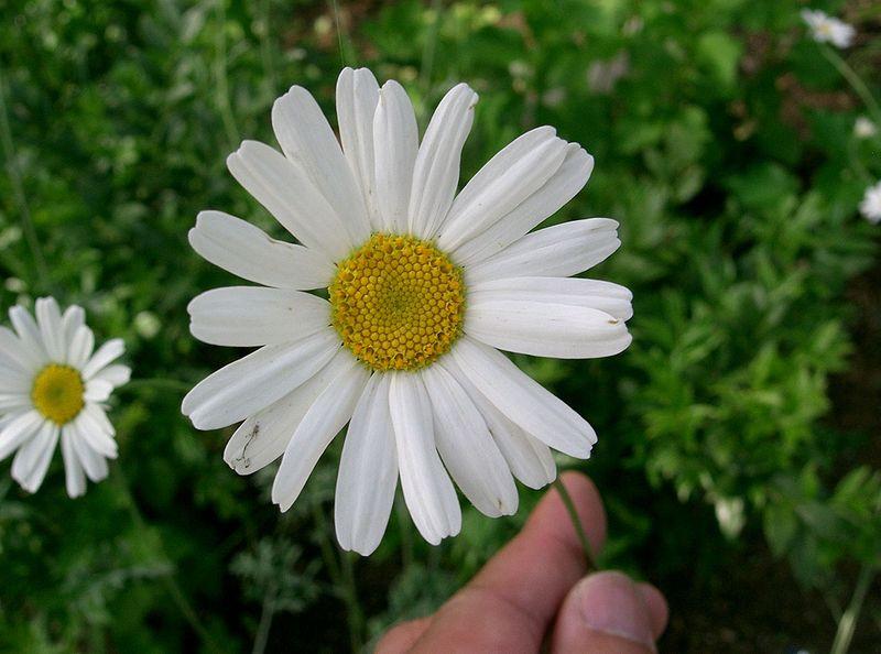 crema-anti-tantari-cu-extract-de-crizantema