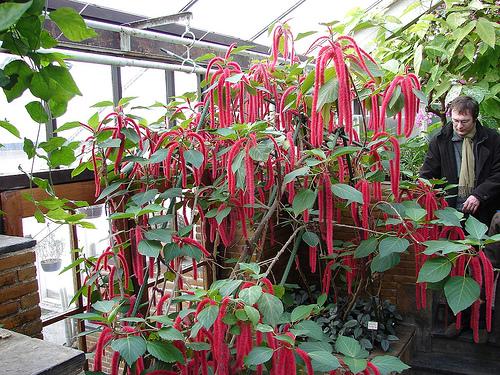 plante-de-apartament-acalypha-coada-vulpii-sau-coada-de-pisica