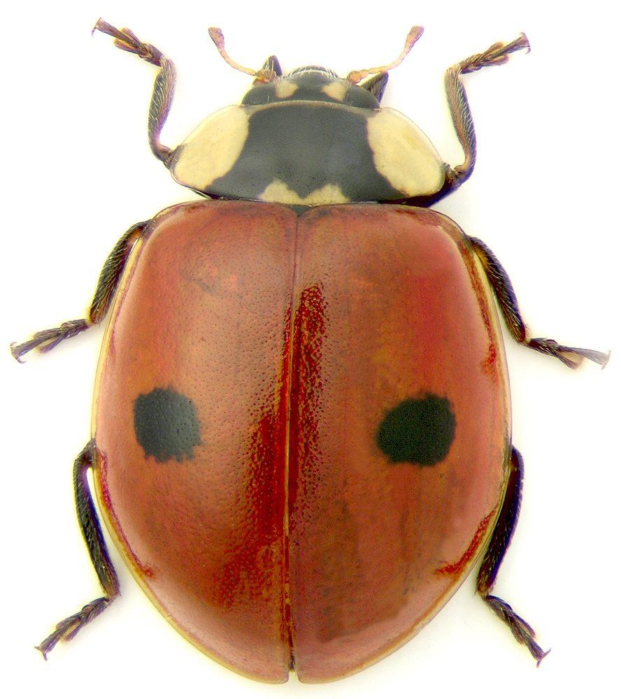 sa-cunoastem-entomofauna-utila-pentru-agricultura-ecologica-adalia-bipunctata