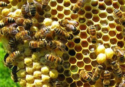 afaceri-profitabile-in-2012-cresterea-albinelor