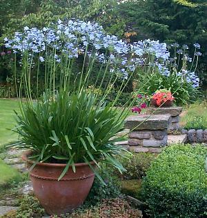 plante-de-apartament-agapanthus-crinul-african