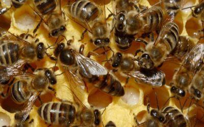 albinele-utilizate-de-cercetatori-ca-senzori-de-mediu
