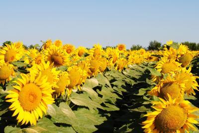 efisc-atentie-la-prezenta-metalaxyl-in-floarea-soarelui-din-romania