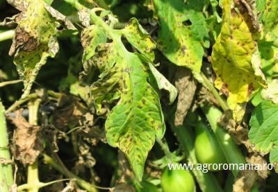 avertizare-efectuati-tratamente-pentru-mana-si-alternarioza-la-legume