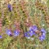 Limba boului, anchusa officinalis, planta melifera si medicinala, invaziva in culturile de lucerna