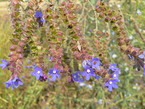 limba-boului-anchusa-officinalis-planta-melifera-si-medicinala-invaziva-in-culturile-de-lucerna