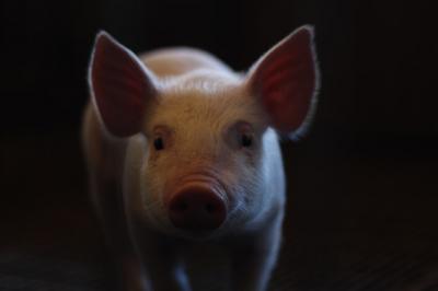 lamuriri-ansvsa-nu-interzicem-si-nu-limitam-cresterea-porcilor