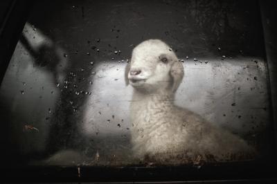 ansvsa-interzice-temporar-transportul-animalelor