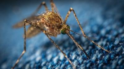 ansvsa-virusul-ppa-gasit-in-insecte-care-se-hranesc-cu-sangele-porcilor