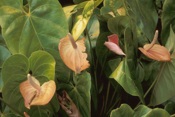 plante-de-apartament-anthurium-floarea-flamingo-ingrijirea-anturium-in-apartament