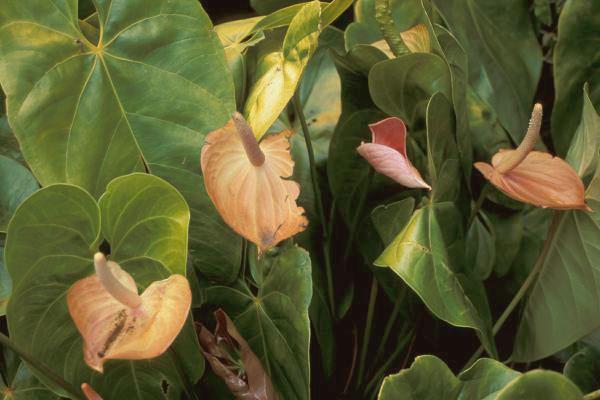 secretele-ingrijirii-florii-flamingo-in-apartament