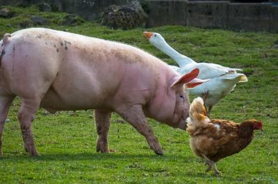 apia-autorizeaza-platile-pentru-bunastarea-porcinelor-si-pasarilor