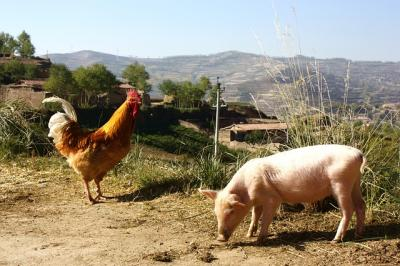 APIA: Platile sub forma de ajutor pentru cei care cresc porci si pasari, activate