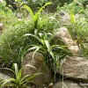 Aranjament de grădină cu plante epifite: Bilbergia
