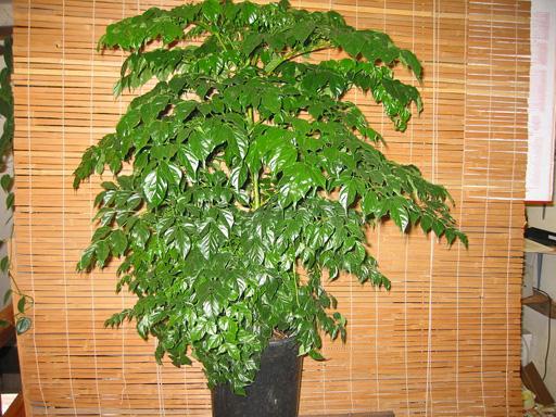 pentru-un-apartament-exotic-arborele-de-cafea-cum-se-ingrijeste-arborele-de-cafea