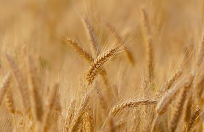 argentina-vinde-grau-modificat-genetic-braziliei
