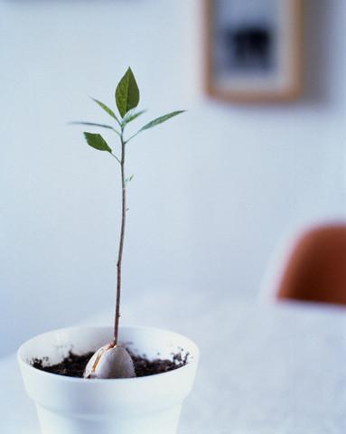 un-avocado-nu-este-greu-de-crescut-in-apartament-sfaturi-de-ingrijire-avocado