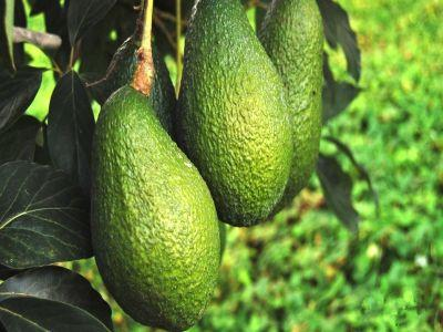cum-se-creste-planta-avocado-in-apartament-sfaturi-de-ingrijire-avocado