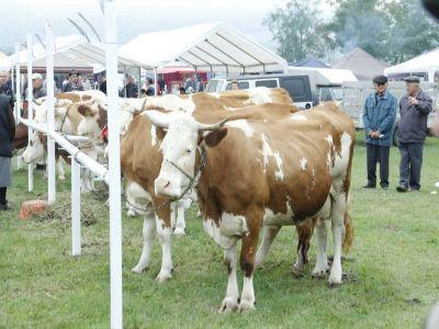 peste-3400-de-femieri-din-zonele-defavorizate-au-solicitat-subventii-pentru-vaci-din-rasa-baltata-romaneasca