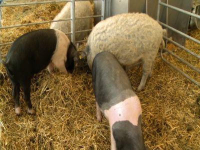 cati-bani-vor-fi-alocati-anul-acesta-pentru-crescatorii-de-porci-bazna-si-mangalita