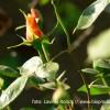 Trandafirii nu trebuie udaţi şi stropiţi zilnic