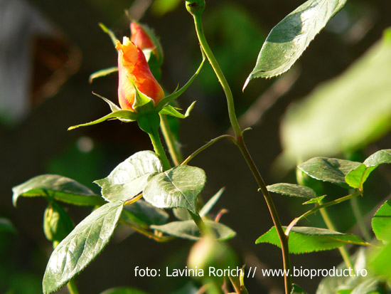trandafirii-nu-trebuie-udati-si-stropiti-zilnic