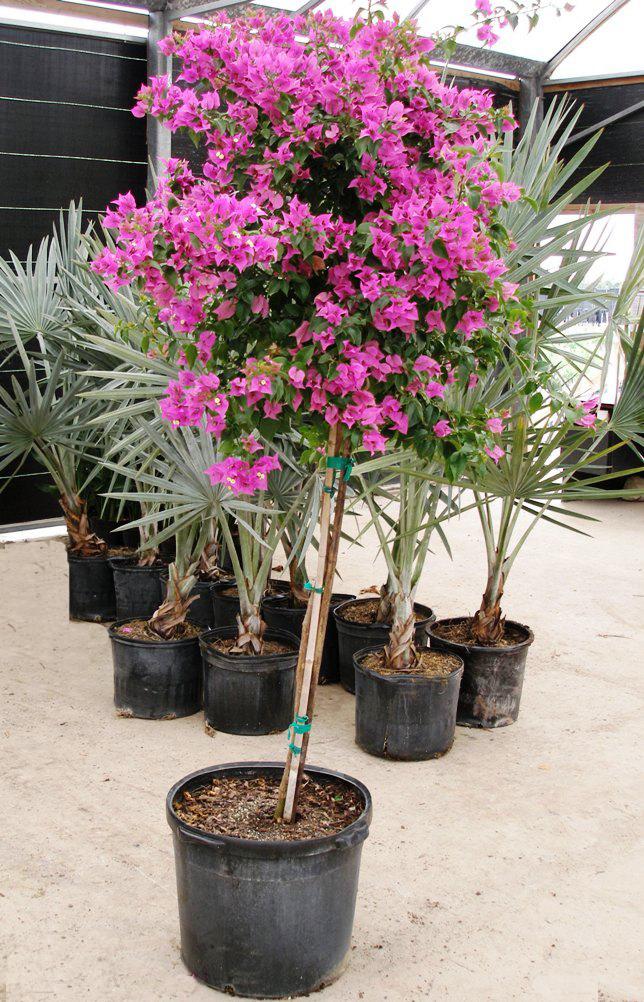 floarea-de-hartie-bougainvillea