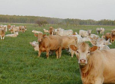 chinezii-vor-sa-importe-bovine-romanesti