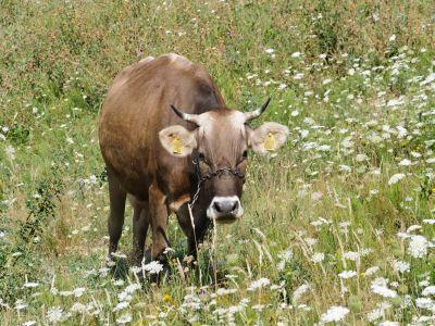 anul-acesta-creste-valoarea-subventiilor-pentru-bovine