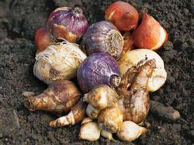 recomandari-pentru-plantarea-bulbilor-de-toamna