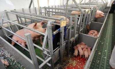 reglementari-pentru-bunastarea-si-protectia-porcilor