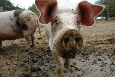 cererile-de-plata-pentru-bunastarea-porcilor-in-ferme-se-depun-pana-pe-30-august