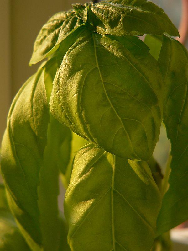 Busuiocul (Ocinum basilicum) - medicament si condiment