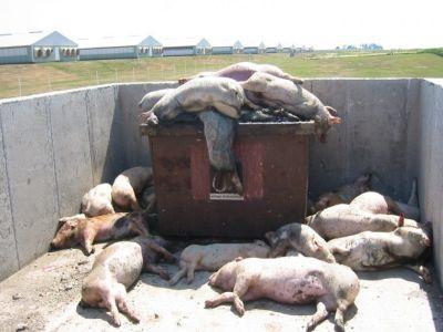 madr-ofera-recompense-pentru-semnalarea-cazurilor-de-porci-morti