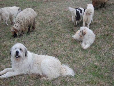 ciobanii-vor-putea-avea-si-10-caini-la-stana-in-functie-de-numarul-de-oi